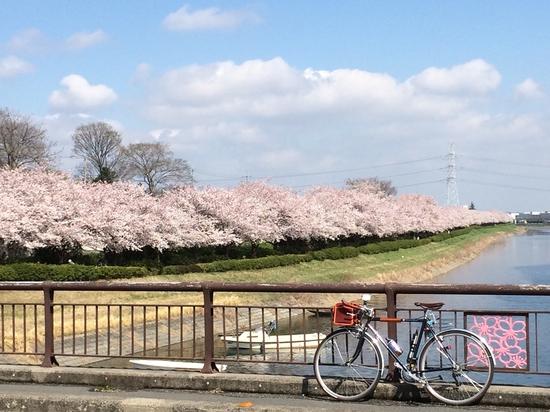 権現堂の近くの池沿いの桜並木