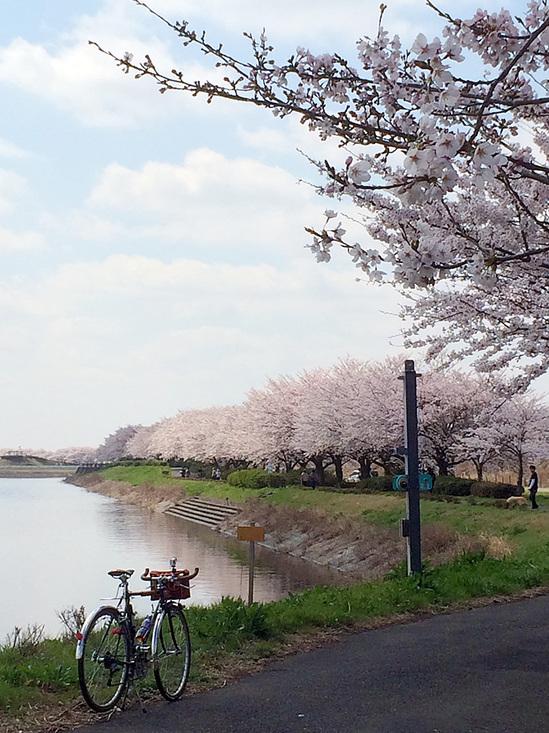 権現堂に向かう川沿いの桜並木