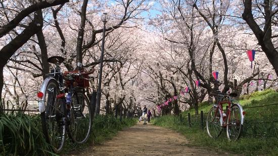 桜堤の中の2台のランドナー