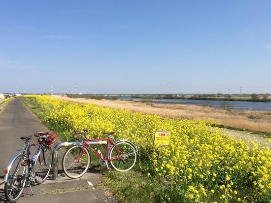 利根川沿いの菜の花も満開